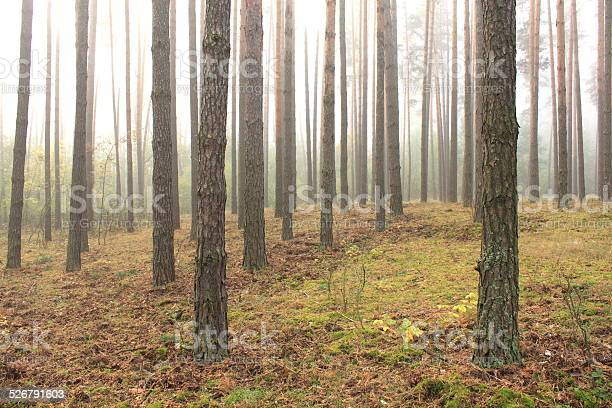 Photo of spruce forest, pinery, pine forest, pinet tree