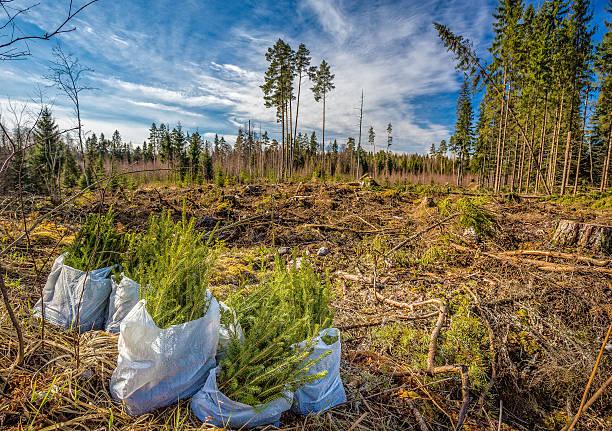 spruce forest planting - herbebossing stockfoto's en -beelden