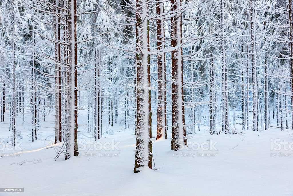 Spruce forest with snow on trees stock photo