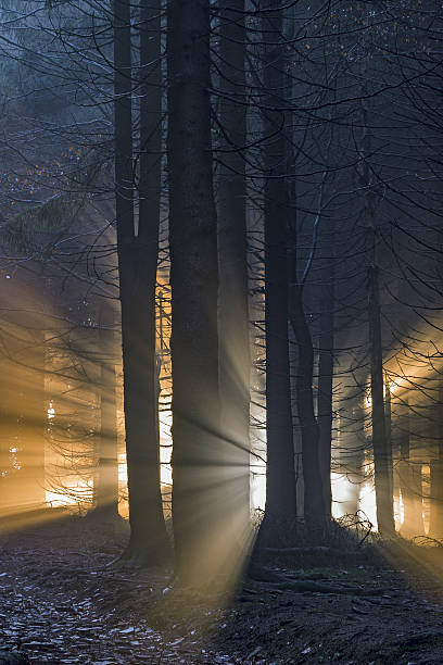 spruce forest with sun rays - desolated stock pictures, royalty-free photos & images