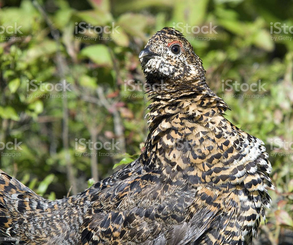 Spruce Grouse royalty-free stock photo