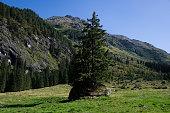 A spruce grows on a large rock, Austria
