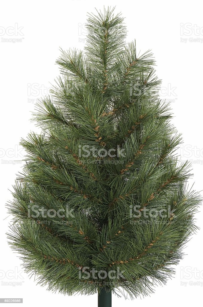 Spruce isolated royalty-free stock photo