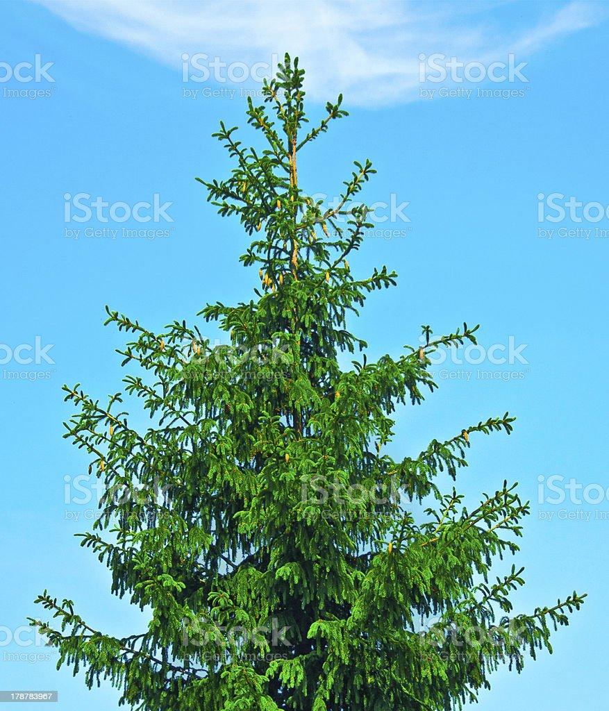 spruce royalty-free stock photo