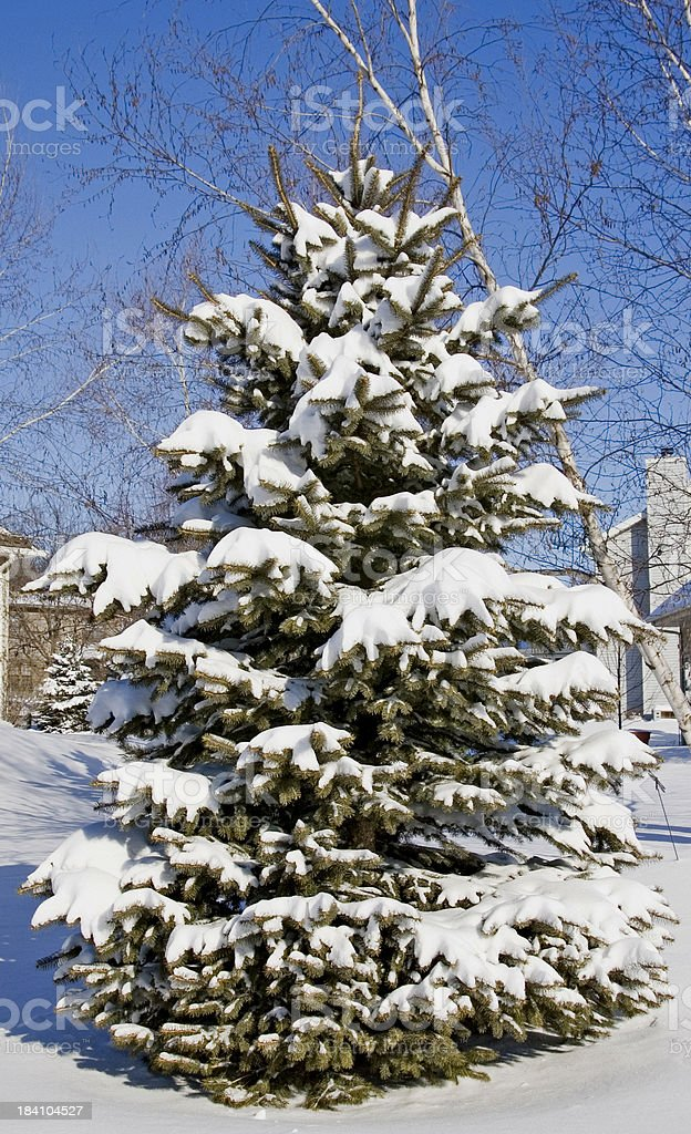 Spruce pine tree on a snowy day royalty-free stock photo