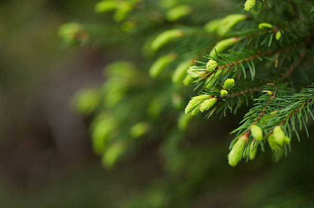 Spruce Shoots bildbanksfoto