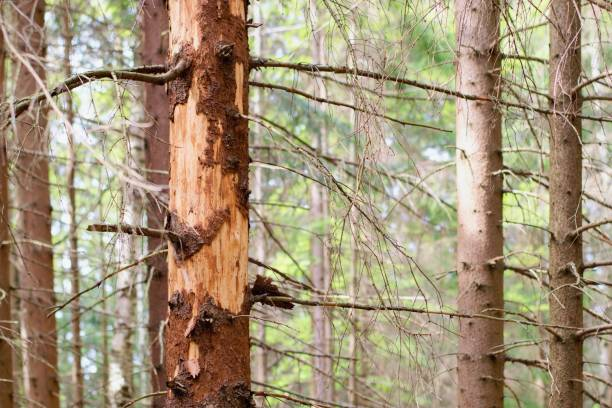 Spruce tree attacked and damaged  with bark beetle stock photo