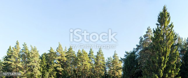 View on treetops of fir on a sky background