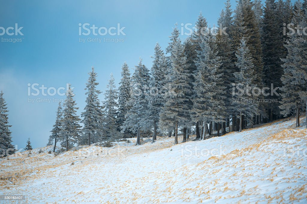 Spruce Tree Forest Covered by Snow stock photo