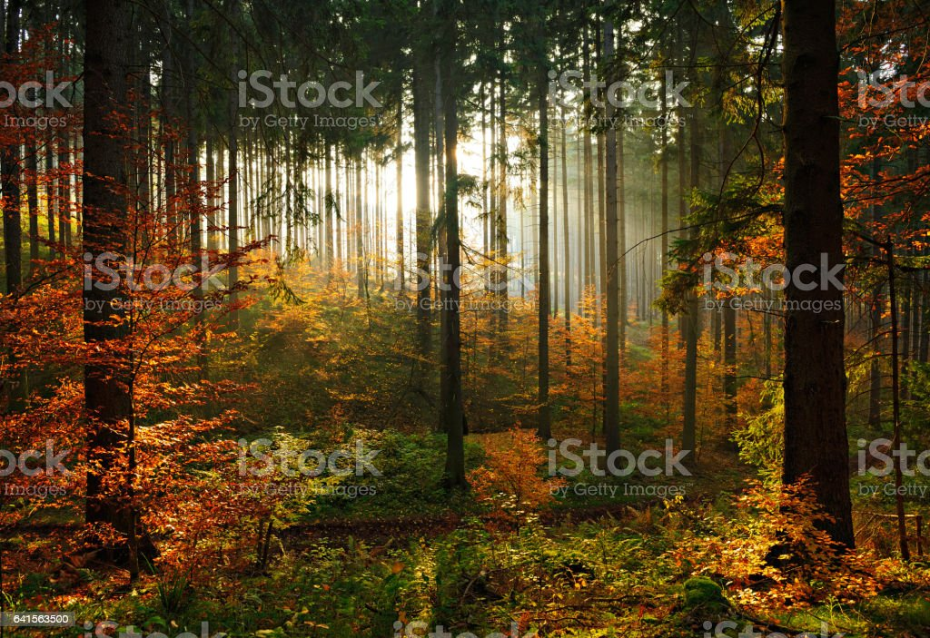 Fichten-Baum-Wald im Herbst Hintergrundbeleuchtung von der untergehenden Sonne verlässt Farbwechsel – Foto