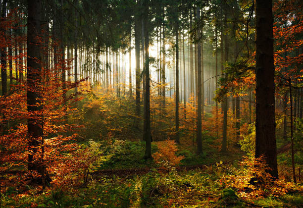 Spruce Tree Forest in Autumn Backlit by the Setting Sun, leaves changing color stock photo