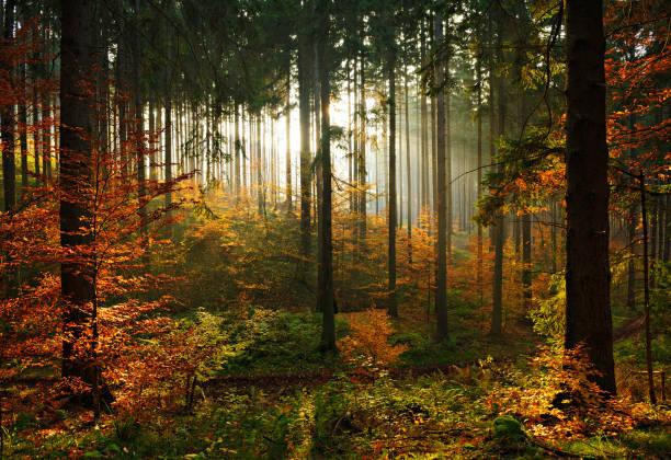 Floresta de árvores spruce no outono iluminado pelo sol poente, folhas mudando de cor - foto de acervo