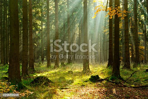 Sunbeams breaking through Spruce Tree Forest in autumn, rays of sunlight amongst trees and on moss covered forest floor