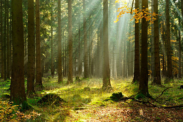 spruce tree forest in autumn illuminated by sunbeams through fog - woud stockfoto's en -beelden