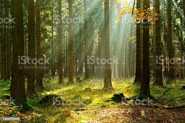 Spruce Tree Forest In Autumn Illuminated By Sunbeams Through Fog Stock Photo - Download Image Now