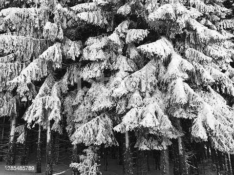 istock Spruce tree forest in snowy 1285485789