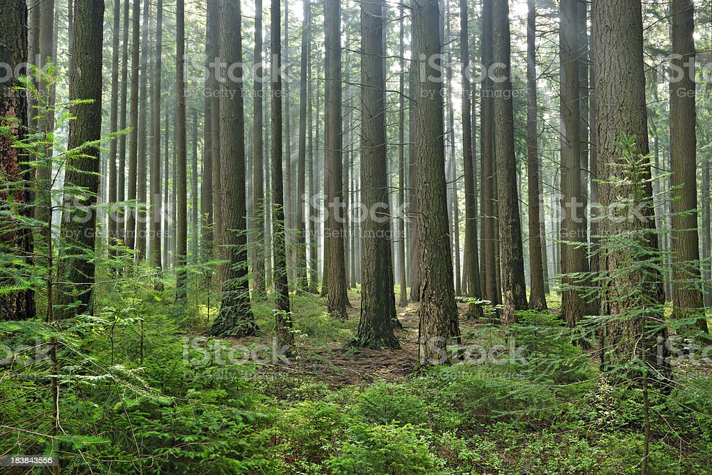 Spruce Tree Forest with Sunbeams and Some Fog stock photo