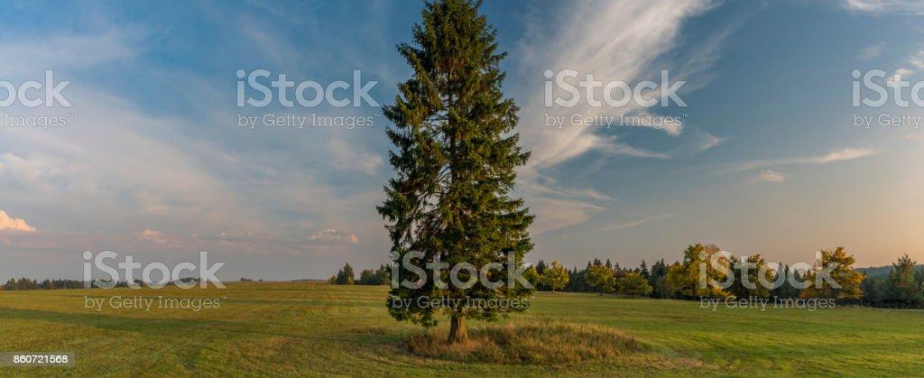 Spruce tree in evening in Slavkovsky les national park stock photo