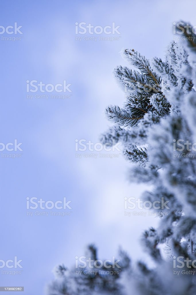 Spruce tree in winter royalty-free stock photo