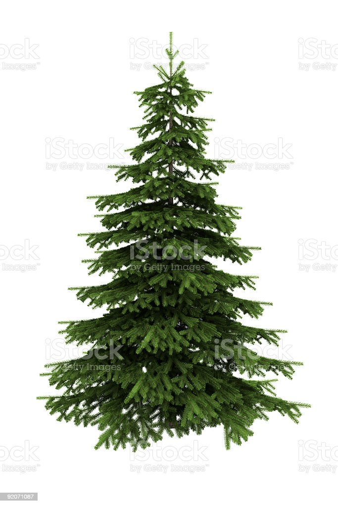 spruce tree isolated on white background with clipping path stock photo