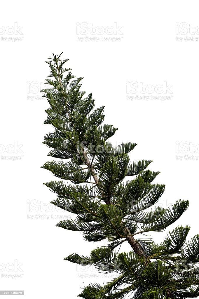 spruce tree isolated on white stock photo