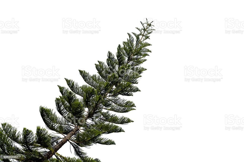 spruce tree isolated on white - foto stock