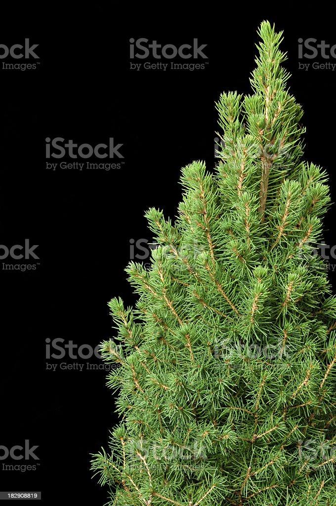 Spruce Tree on Black royalty-free stock photo