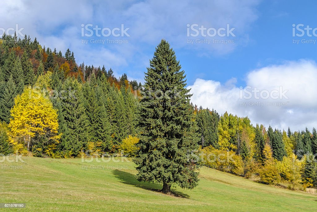 Spruce tree on the field in fall photo libre de droits