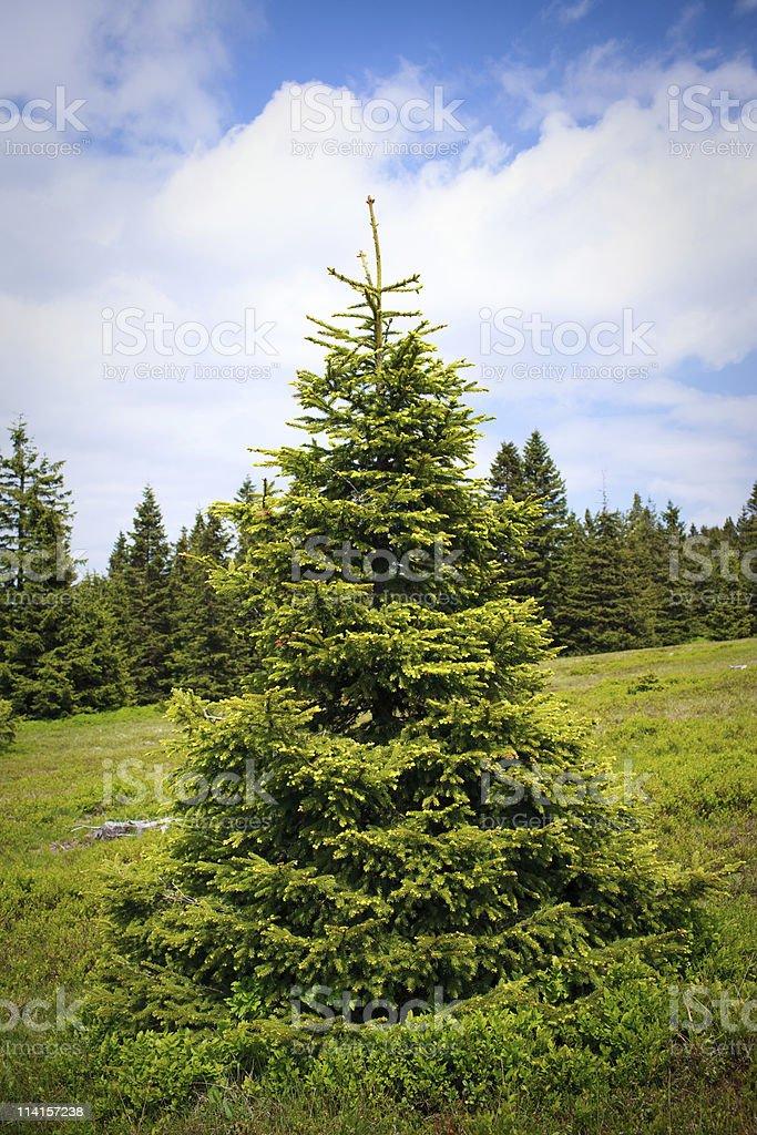 Spruce Tree royalty-free stock photo