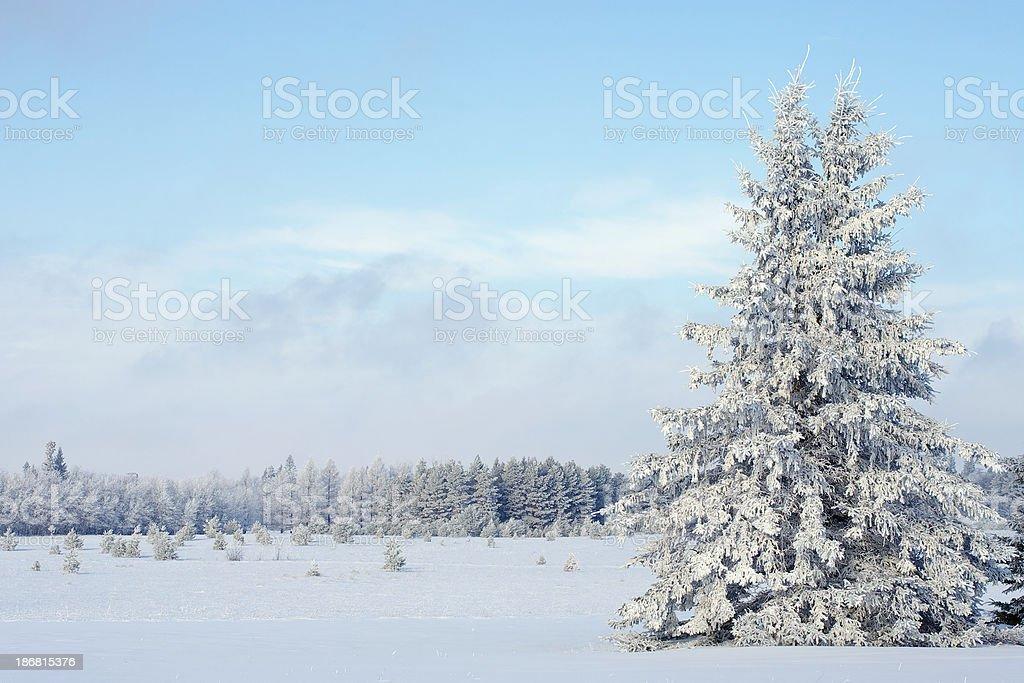 Spruce Tree stock photo