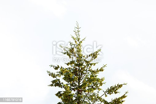 Spruce tree with cones against sky, beautiful nature background with copy space, full frame horizontal composition