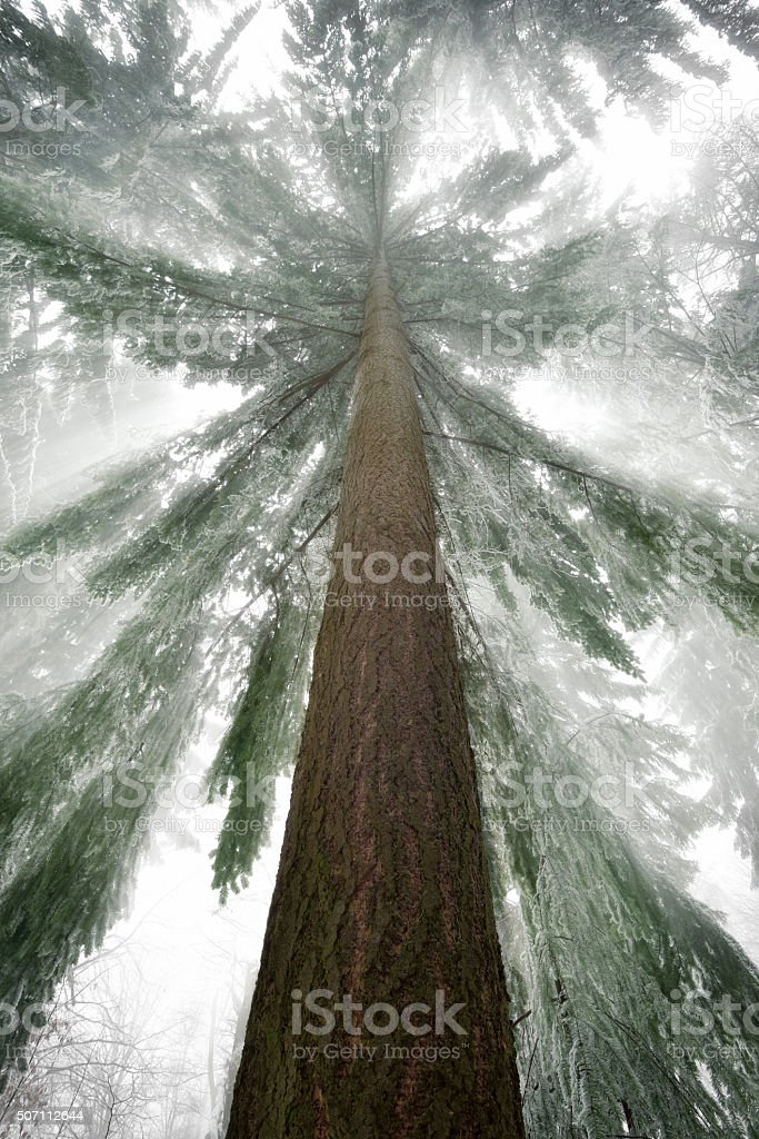Spruce tree with cool light rays in winter stock photo