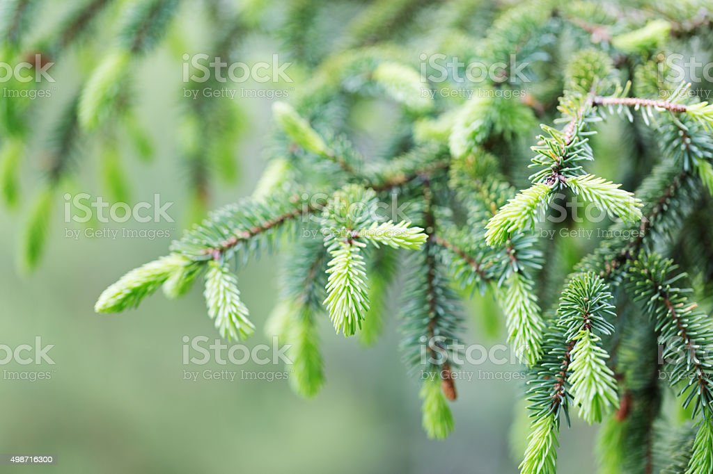 Spruce Tree with New Growth stock photo
