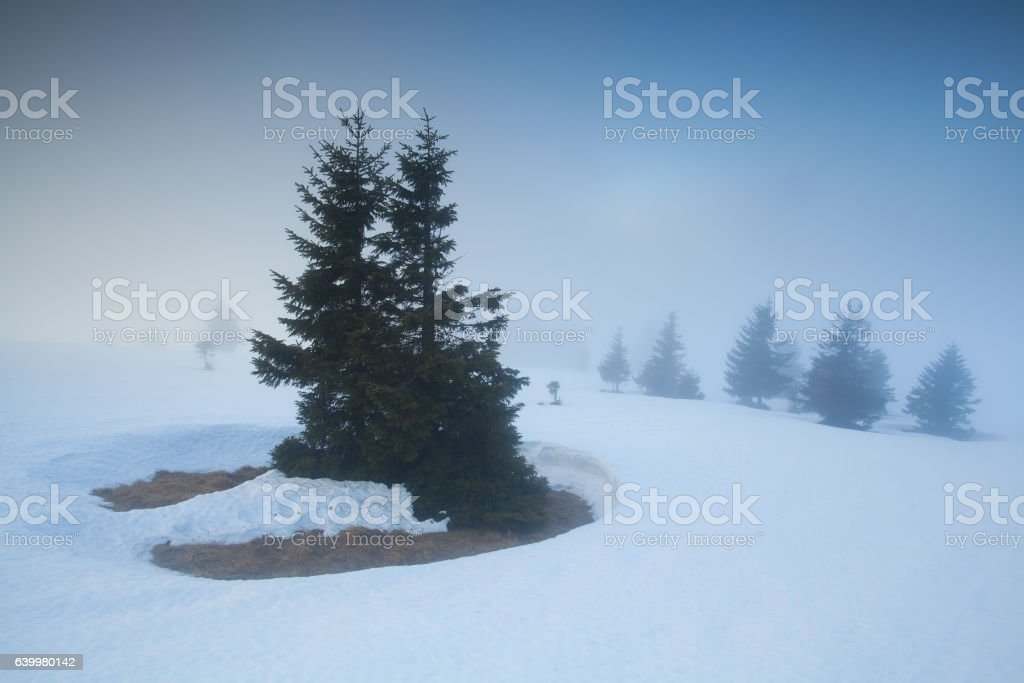 spruce trees in snow and fog stock photo