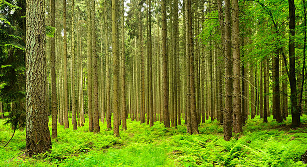 Spruce Trees in Spring, Forest Floor covered by Ferns Spruce Trees in Spring, Forest Floor covered by Ferns taiga stock pictures, royalty-free photos & images