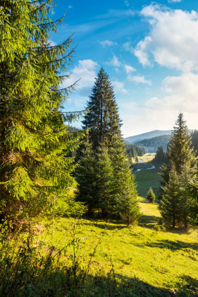 spruce trees on grassy hill above the valley stock photo