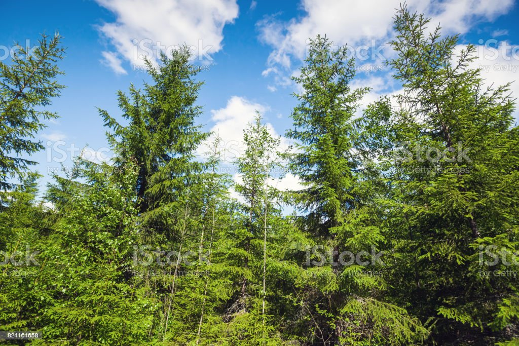 Spruce trees over bright blue sky background stock photo