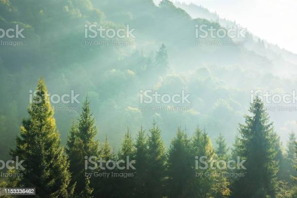 Photo of spruce treetops on a hazy morning