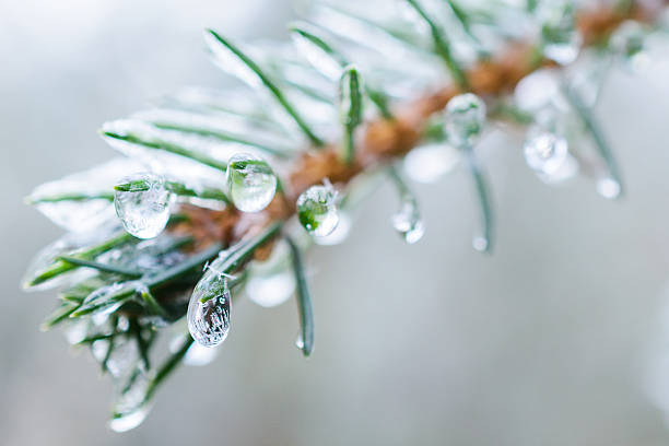 spruce twigs. on pins and needles hanging frozen droplets of - kiefer sol stock-fotos und bilder