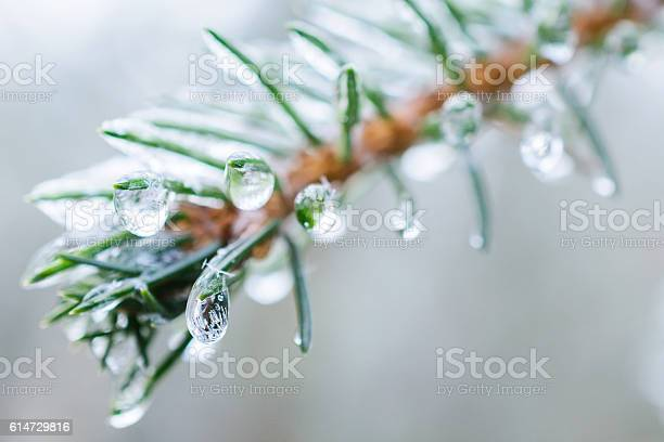 Photo of Spruce twigs. On pins and needles hanging frozen droplets of