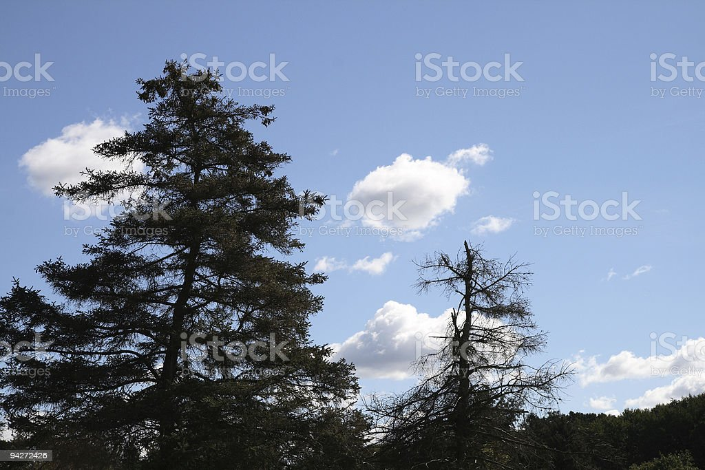 Spruces Against the Sky royalty-free stock photo