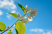 Jasmine branch on blue sky background