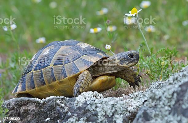 Spur thighed turtle picture id477486390?b=1&k=6&m=477486390&s=612x612&h=ocbsl pzxi4sfzzb1476sw ygfj0v3olmh0eiyvycwm=