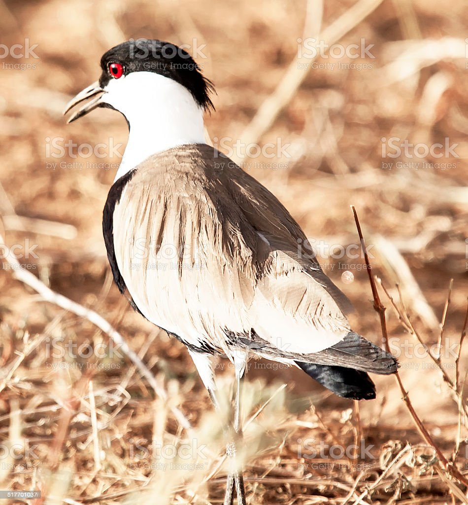 Spur winged plover stock photo