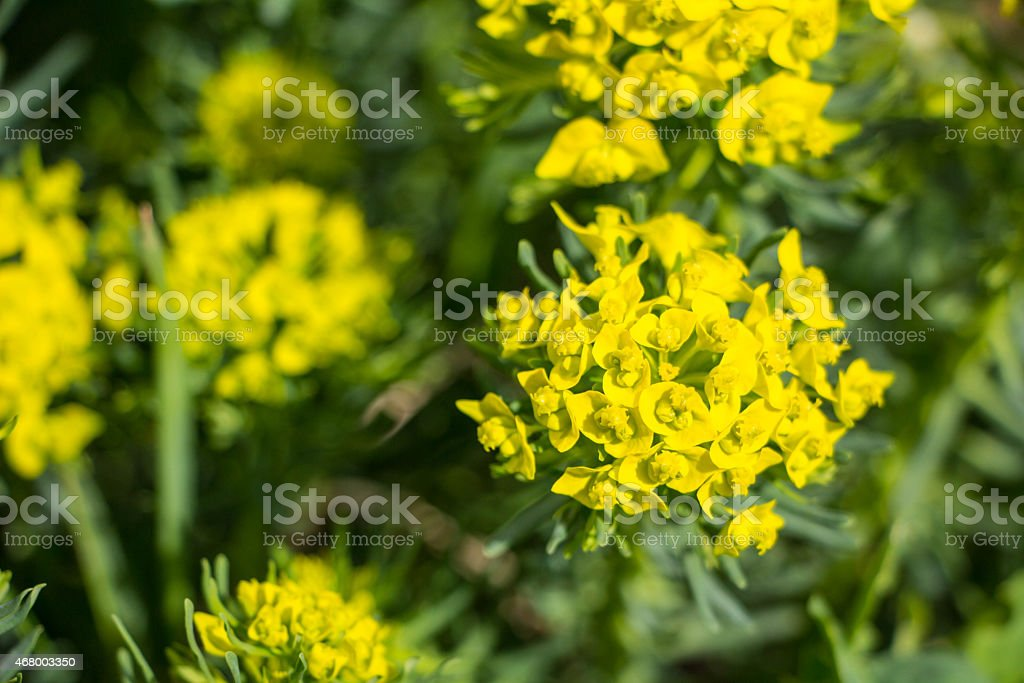 Spurge cypress (Euphorbia myrsinites) spring blossom stock photo