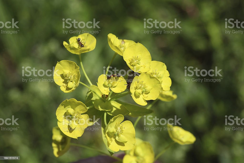 Spurge royalty-free stock photo