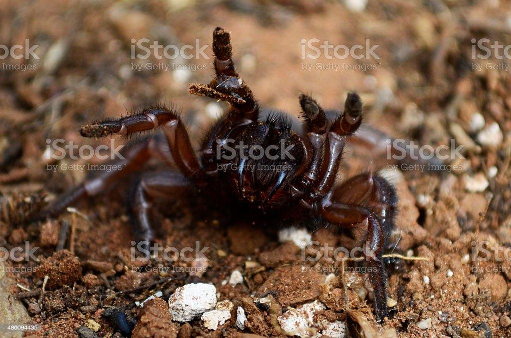 Spurred trapdoor spider stock photo