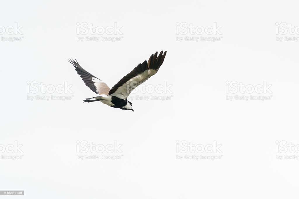 Spur-winged Lapwing in mid flight stock photo