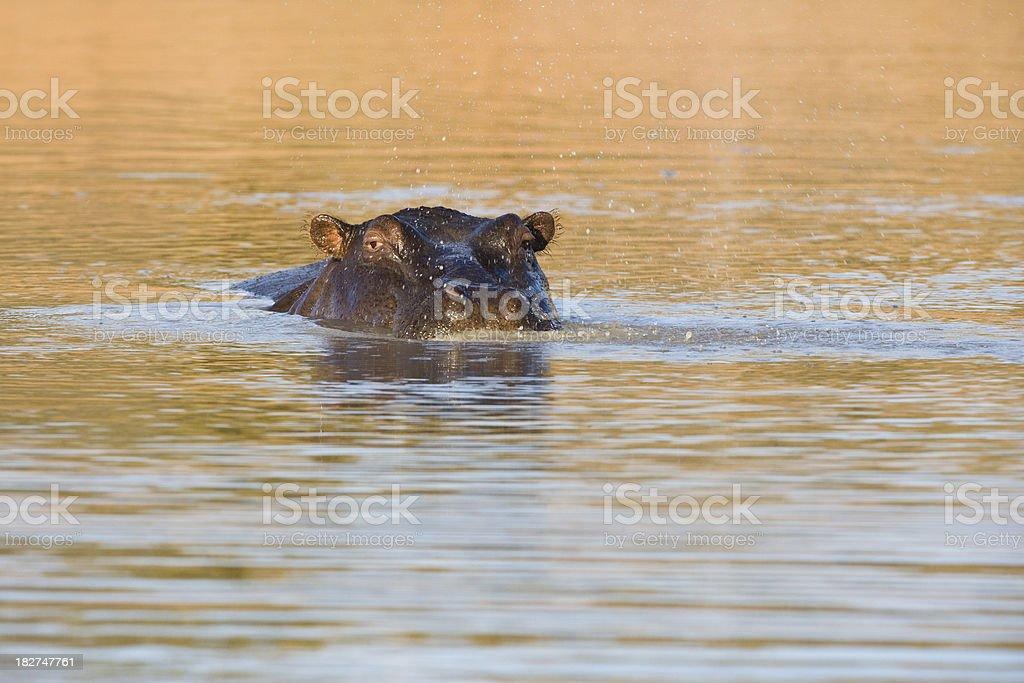 Spy hopping hippo stock photo