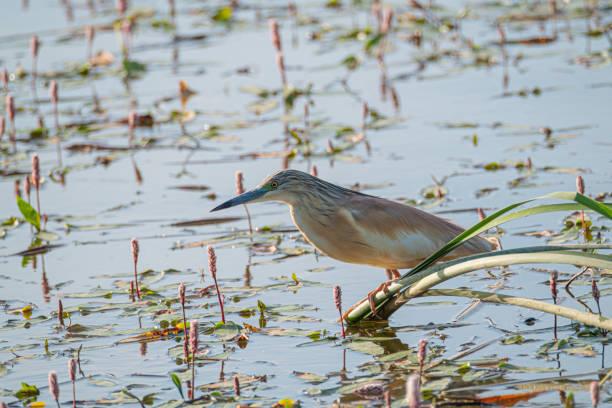 Garza Squacco, Ardeola ralloides, encaramado en una rama esperando para pescar en las aguas del río - foto de stock
